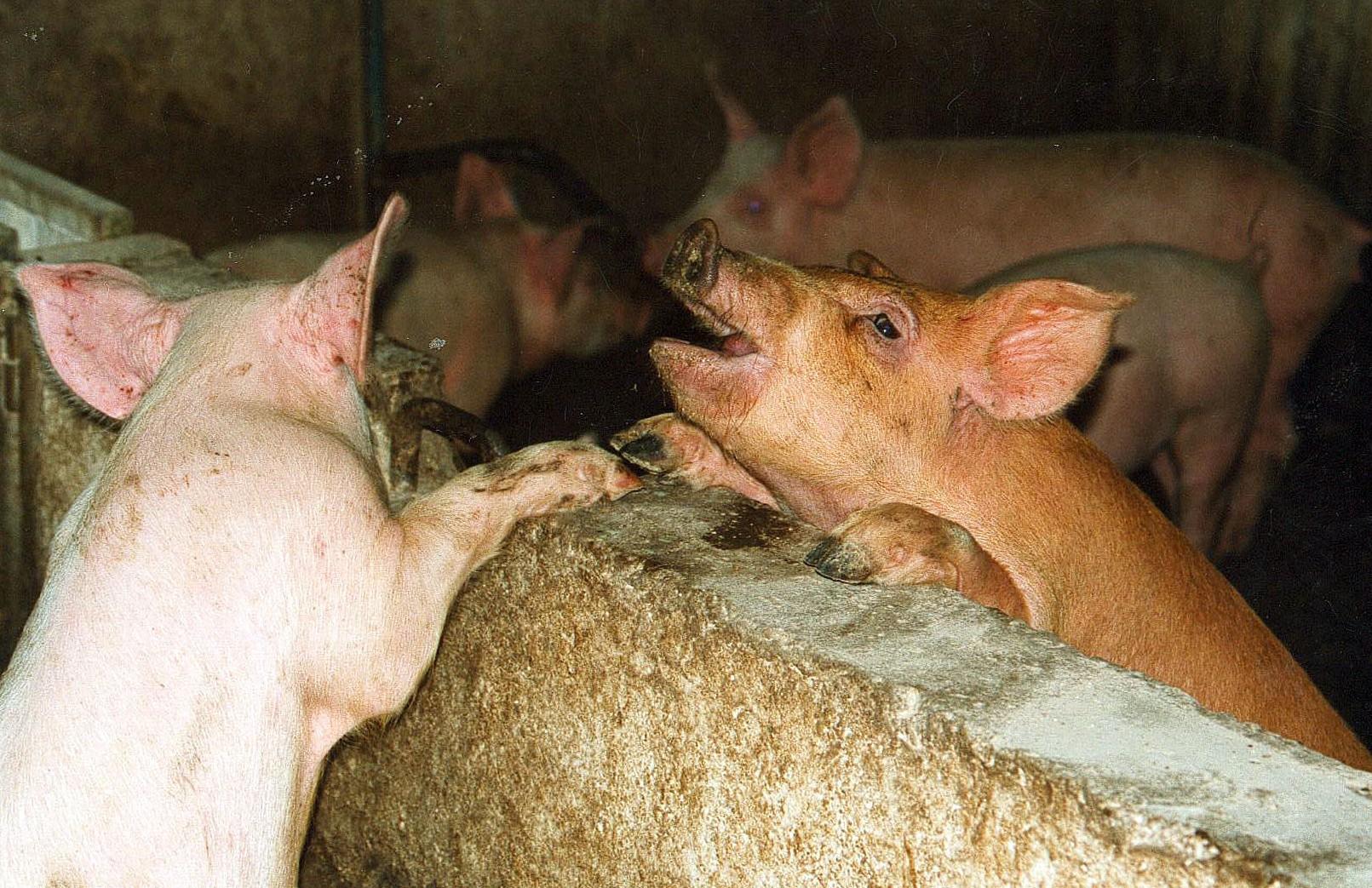 Нарассмотрение жалобыЕС на Российскую Федерацию поввозу свинины отведено 60 дней
