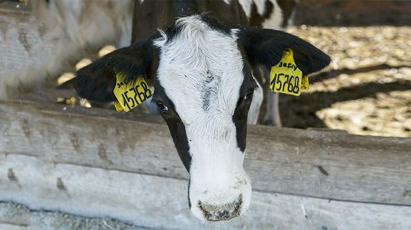 Умысла небыло: фермер сGPS-трекером для теленка избежал наказания